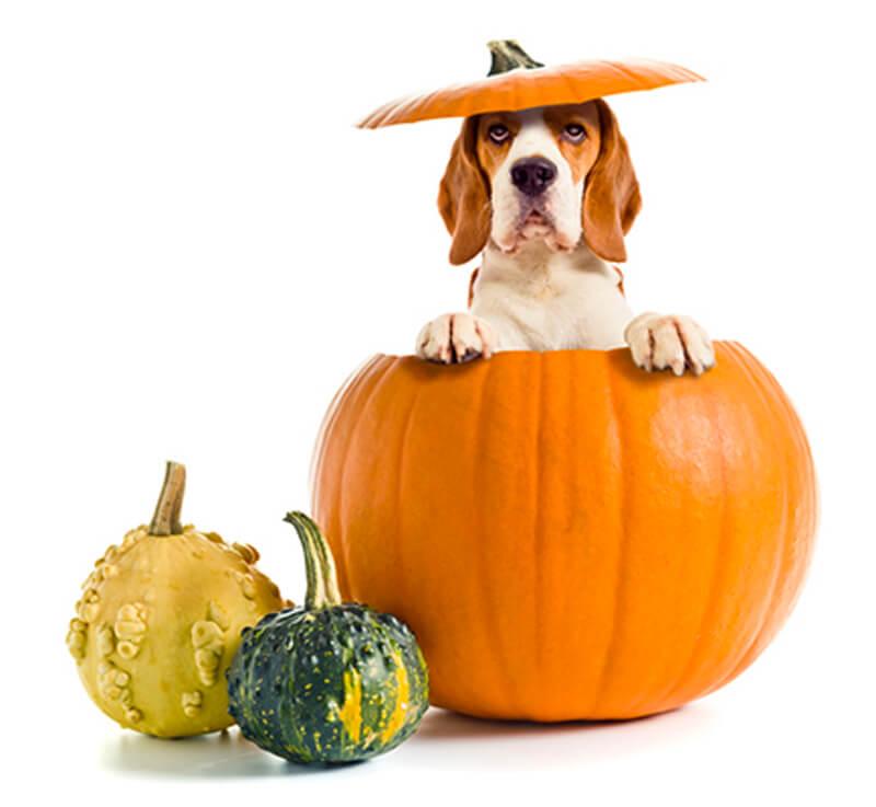 chien dans citrouille halloween
